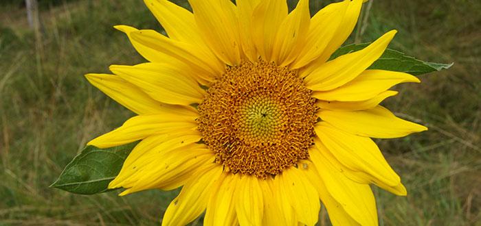 sonnenblume2.jpg